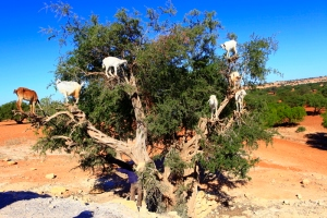 goats on tree